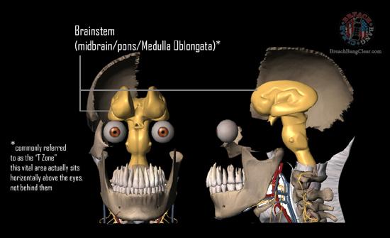 Ammo stopping power vs anatomy Cowan Breach Bang Clear skull vitals 2